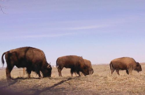 Took this from the car. Tourists aren't supposed to get out and get up close and personal with bison.